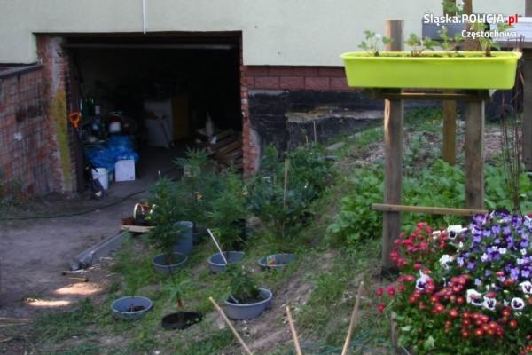 Hodował marihuanę w ogródku. W sąsiedztwie pomidorów
